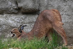 Yawning caracal. The yawning and stretching caracal Stock Photos