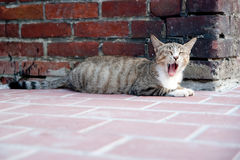 Yawning cat. A cute and lazy yawning cat Royalty Free Stock Photo