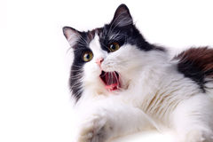 Yawning cat Stock Photography