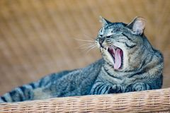 Yawning Cat. This is a photo of a cat sitting on a front porch wicker table Royalty Free Stock Image