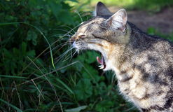 Yawning cat Royalty Free Stock Photos