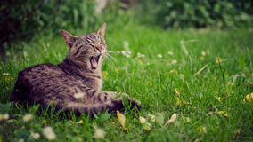Yawning cat. Yawning tabby cat on green grass with copy space Stock Image