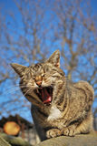 Yawning cat. Domestic cat yawns in the garden stock photo