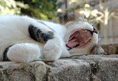 Yawning cat. On a stone fence Royalty Free Stock Photo