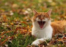 Yawning cat. A cat yawing in the garden Royalty Free Stock Images