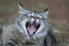 Yawning Cat. This is a picture of a cat that looks mad but he is really just yawning Royalty Free Stock Images