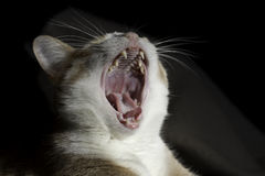 Yawning Cat Royalty Free Stock Photography