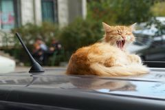 Yawning cat on the car stock images