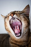 Yawning cat. Funny fury yawing cat with small teeth Stock Image