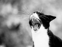 Yawning cat (2) Royalty Free Stock Image