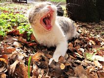Yawning cat laying in leaves stock image