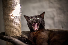 Yawning cat. Lying in scratching post Stock Photography