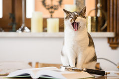 Yawning cat after reading a book Royalty Free Stock Photo