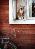Yawning cat Royalty Free Stock Photos