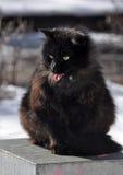Yawning Cat Showing Tongue. Yawning black Cat Showing Tongue on the street Royalty Free Stock Photo