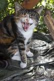 Yawning cat Stock Photos