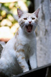 Yawning Cat. Stock Photos