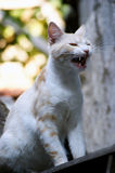 Yawning Cat. Royalty Free Stock Images