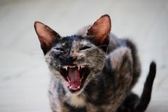 Yawning Cat which looks angry stock image