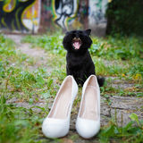 Yawning cat and women's shoes Royalty Free Stock Photography