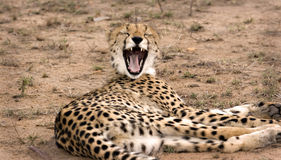 Yawning cheetah Royalty Free Stock Photography