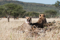 Yawning Cheetah. In the private reserve Okonjima in Namibia Stock Photography