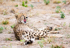 Yawning cheetah Royalty Free Stock Image