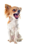 Yawning chihuahua Royalty Free Stock Photos