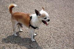 Yawning Chihuahua Royalty Free Stock Photos