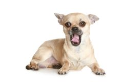 Yawning Chihuahua puppy Stock Photos