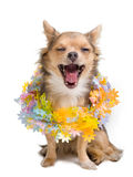 Yawning chihuahua puppy with garland Royalty Free Stock Image