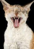 Yawning Cornish Rex Cat Stock Image