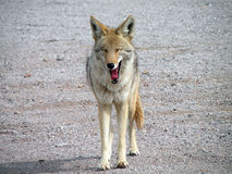 Yawning Coyote. In Lake Mead National Recreational Area, Nevada Royalty Free Stock Photo