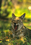 Yawning Coyote. A coyote yawning while lying down in the shade Stock Image