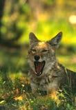 Yawning Coyote Stock Image