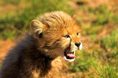 Yawning Cub. Cheetah Cub Yawning Royalty Free Stock Images