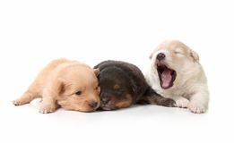 Yawning Cuddly Newborn Puppies Royalty Free Stock Photography