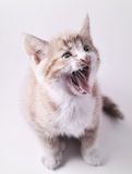Yawning Cute Cat Stock Image