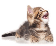 Yawning cute kitten. Isolated on white background cutout Stock Photography