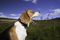 A yawning dog. A close up shot of a beagle dog yawning in the sun Royalty Free Stock Image