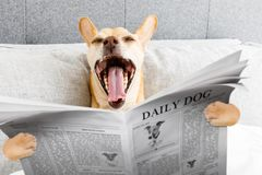 Yawning dog in bed Royalty Free Stock Photography