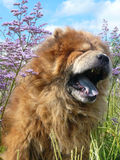 Yawning dog chow-chow Stock Photography