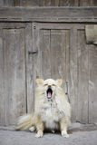 Yawning dog Stock Images
