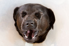 Yawning dog with funnel. Portrait of a yawning black dog with a plastic funnel Stock Photo