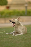 Yawning dog on green grass Royalty Free Stock Photo