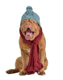 Yawning dog with hat and scarf Stock Photos