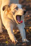 Yawning dog. Royalty Free Stock Photography