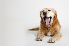 Yawning dog Stock Image