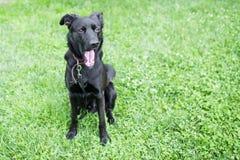 Yawning dog. Dog sitting and yawning on grass Stock Photo