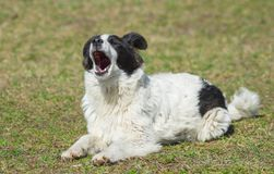 Yawning dog Stock Photos